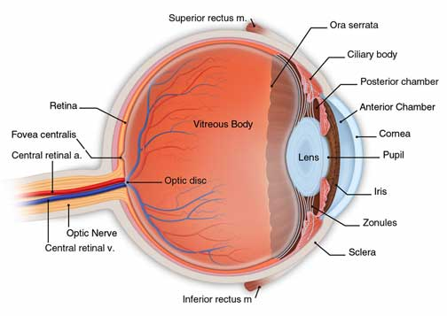 retina consultants of western new york, Muscles